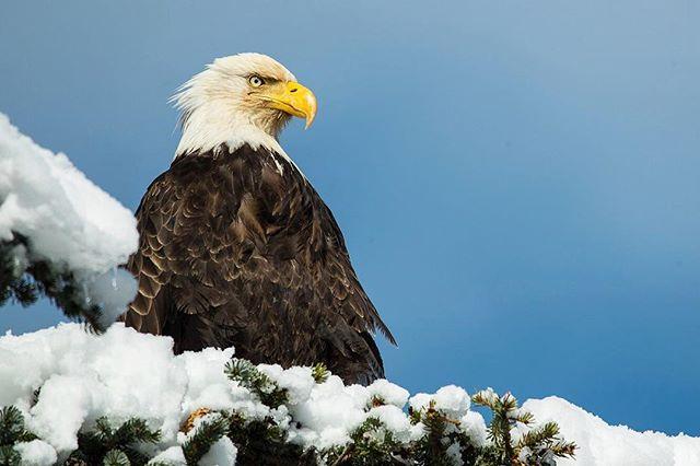 Haines Amerika is Eagle Country #stellaralaska 📷 @esalesski
