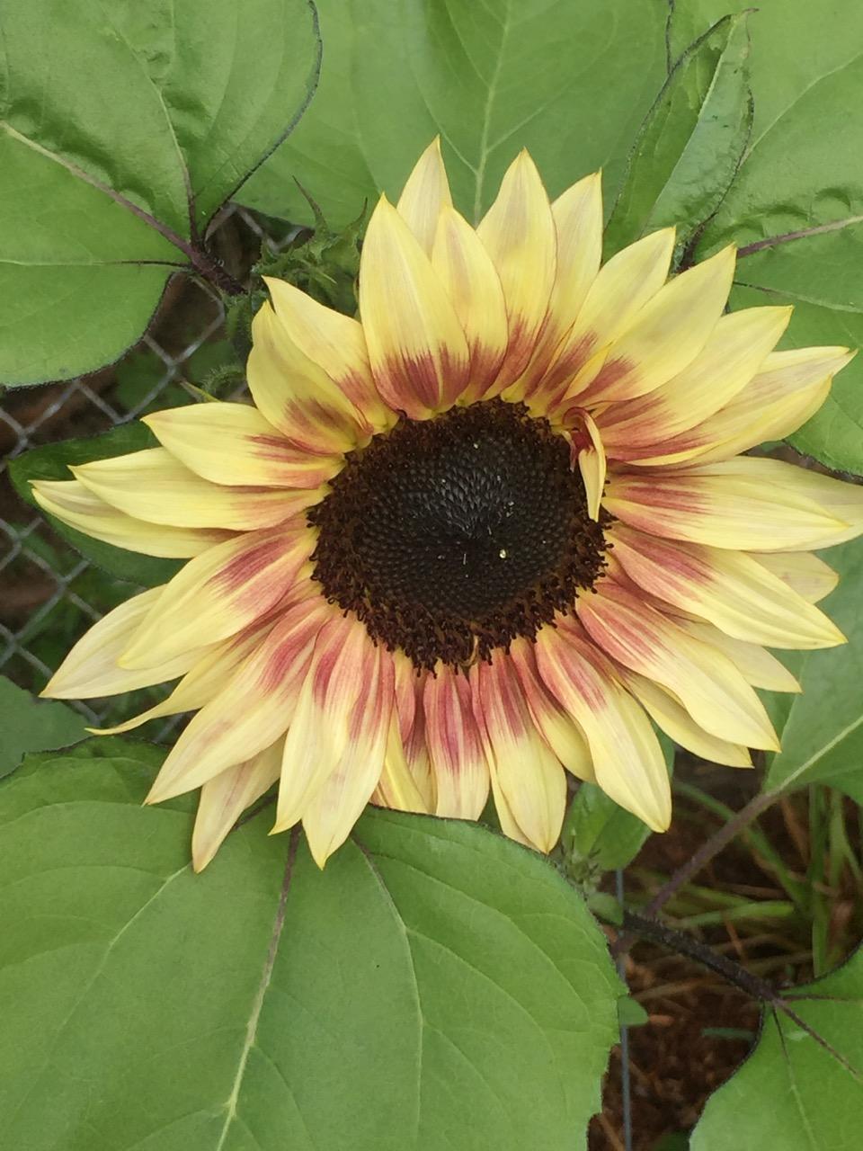 Sunflower 17.jpeg