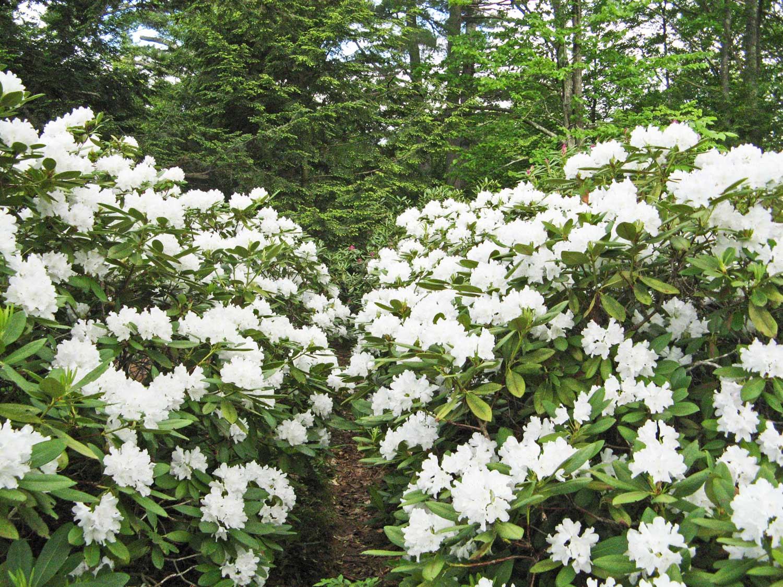 Rhododendron-Walk.jpg