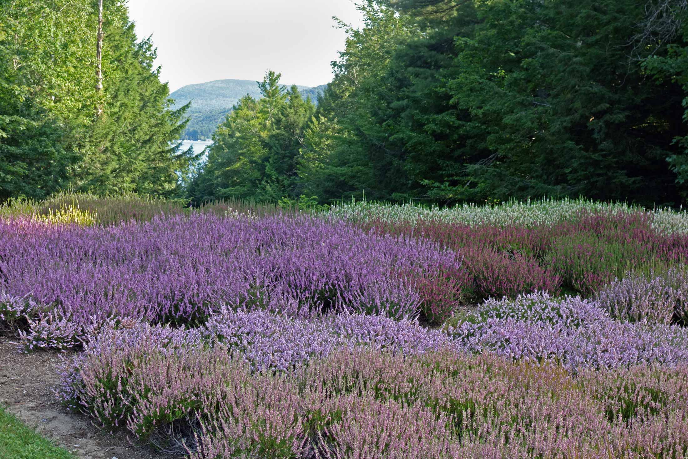 The-Fells-Sunapee-NH-Heather.jpg
