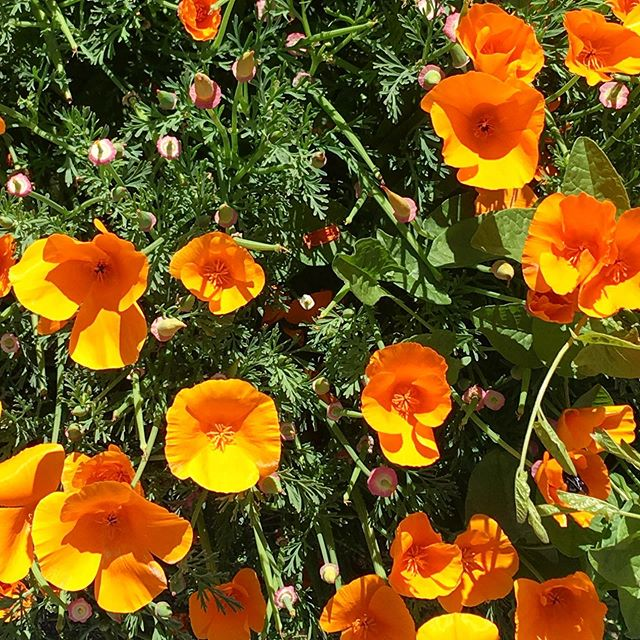 Couldn't help myself.. #californiapoppies #california #sanfrancisco #nature #goforawalk #hike #taketimetosmelltheroses #no #hustle #artiseverywhere
