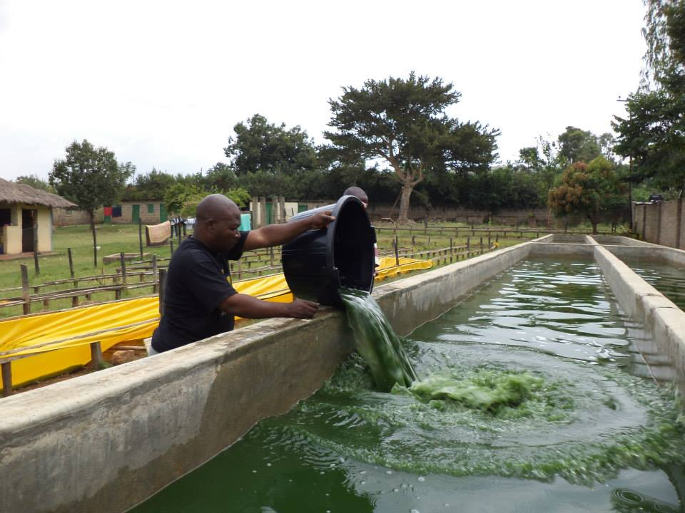 A clip of the Kisumu Spirulina Project which is doing amazing! K.I.D.S. Initiative is VERY excited to work towards the new Spirulina Project in Juja Farm.