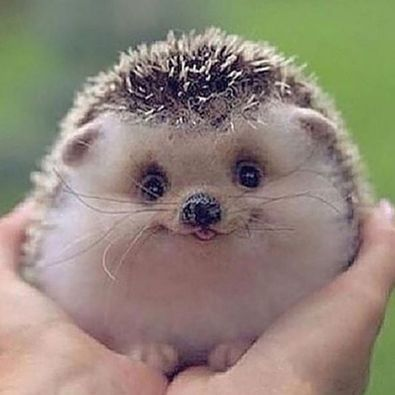 Smiling-hedgehog.jpg
