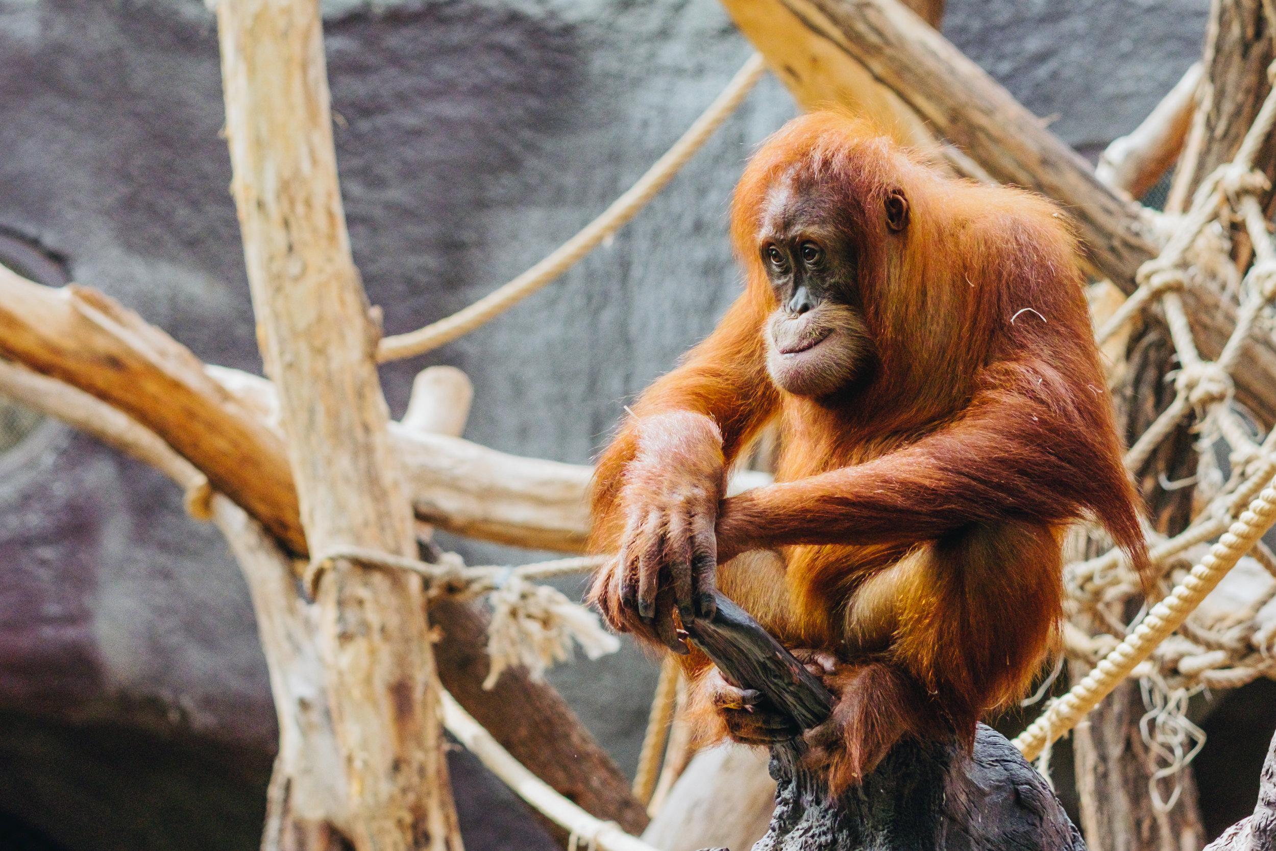 Prague Zoo Praha Orangutan