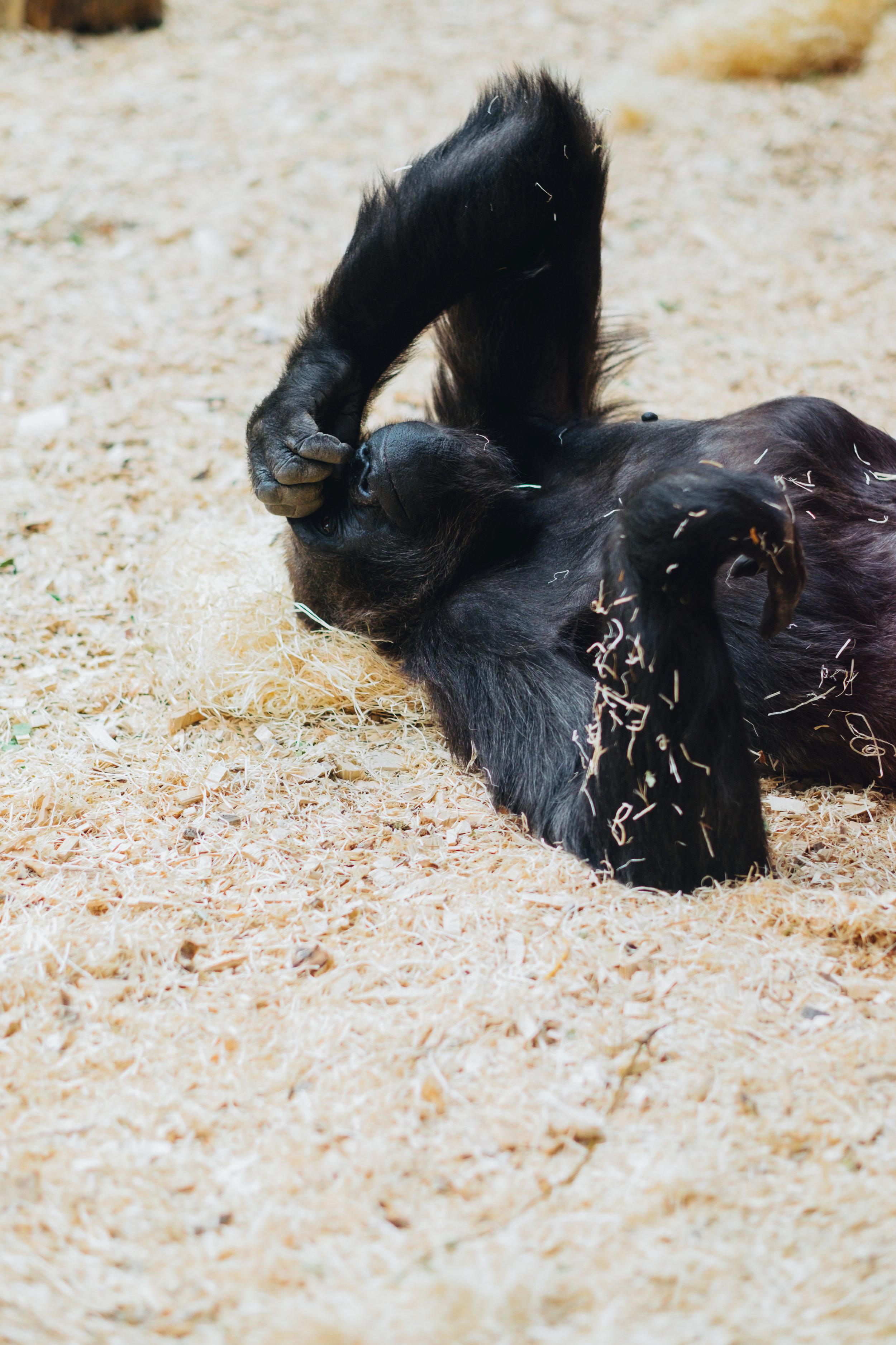 Prague Zoo Praha Gorilla