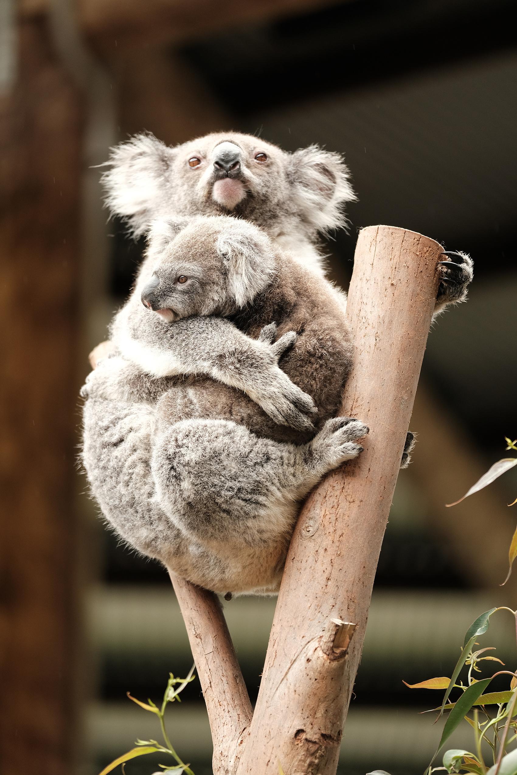 koalas_cute.jpg