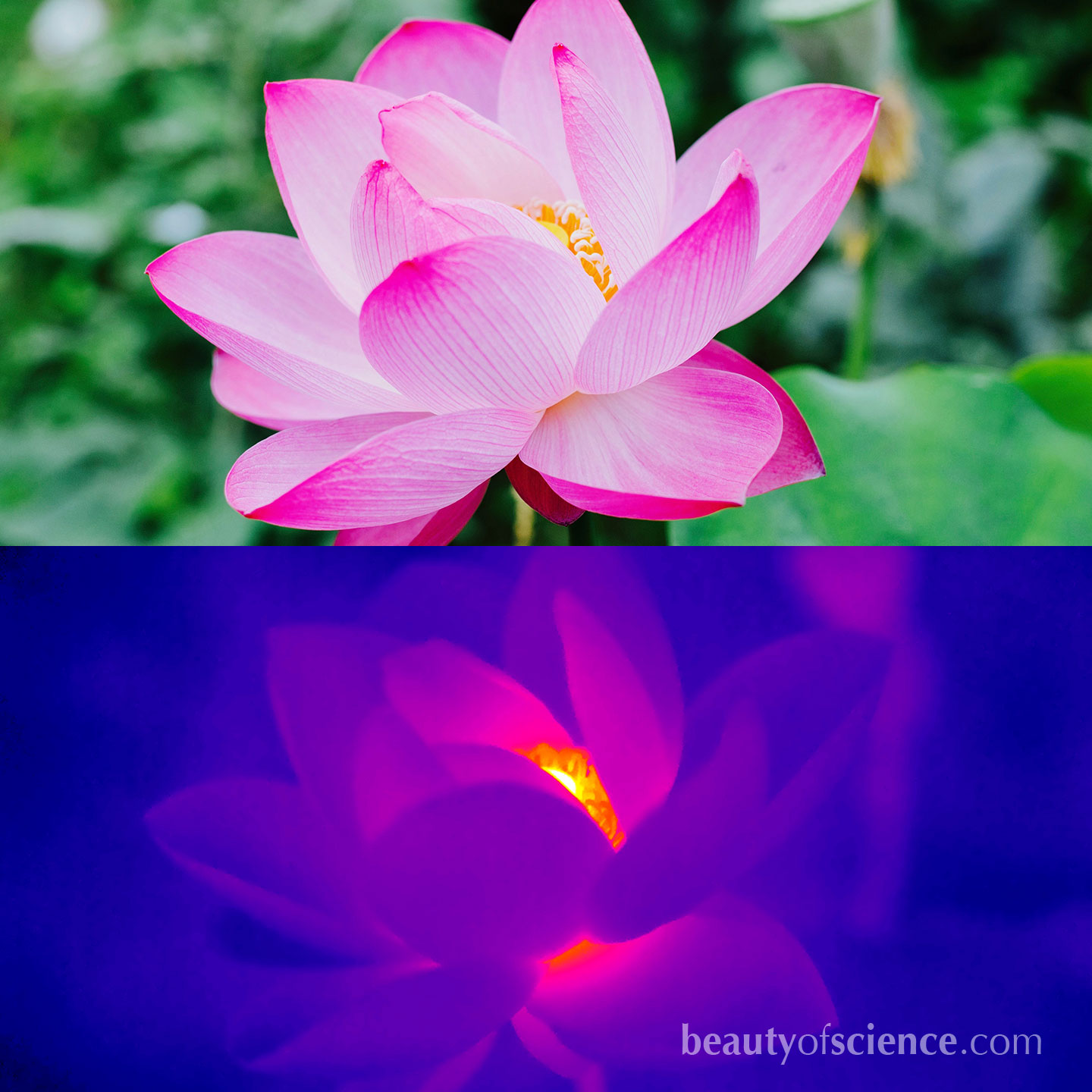 Sacred Lotus is one of only a few plants that can generate heat and regulate their temperature.