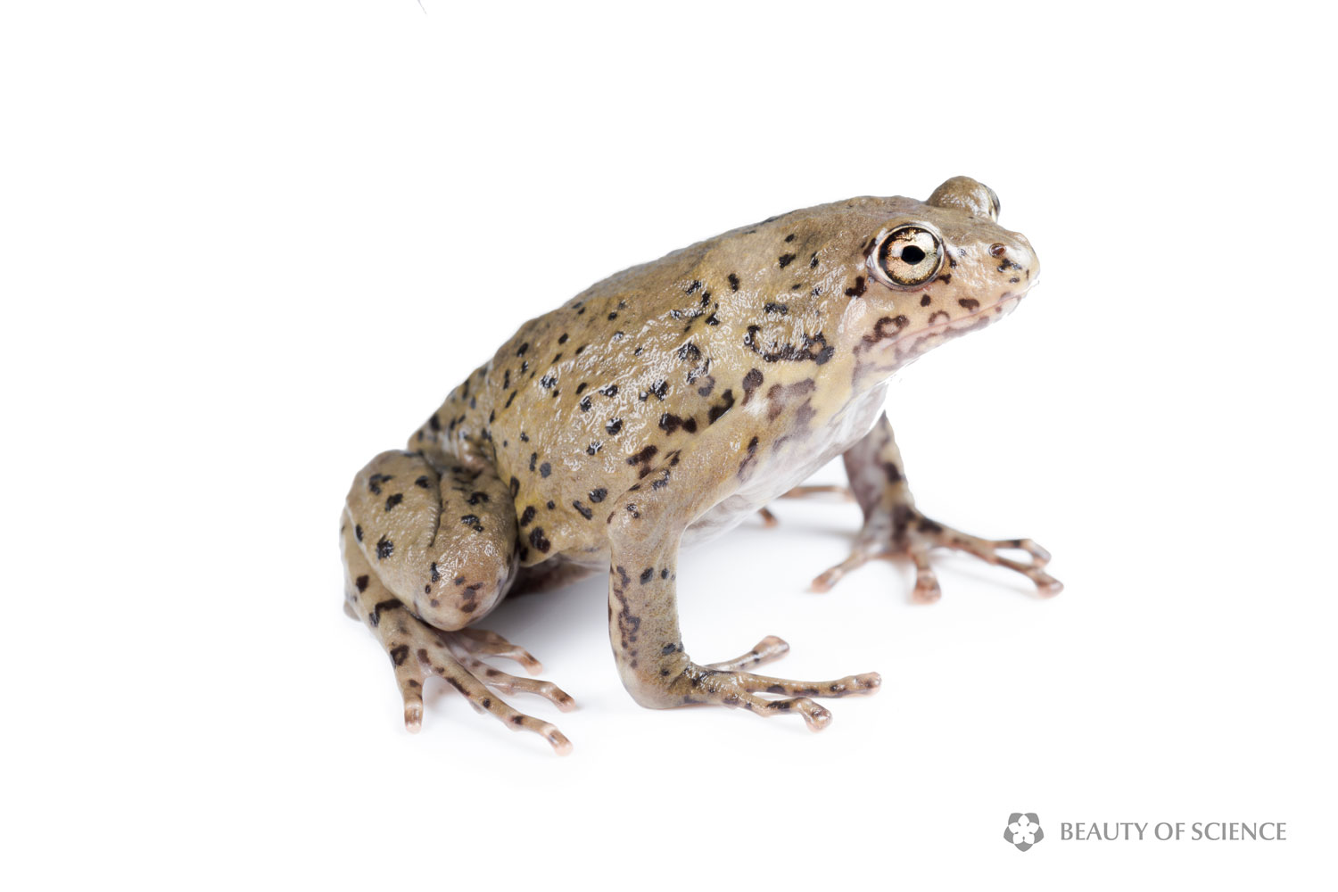 sichuan-narrow-mouthed-frog-white-01.jpg