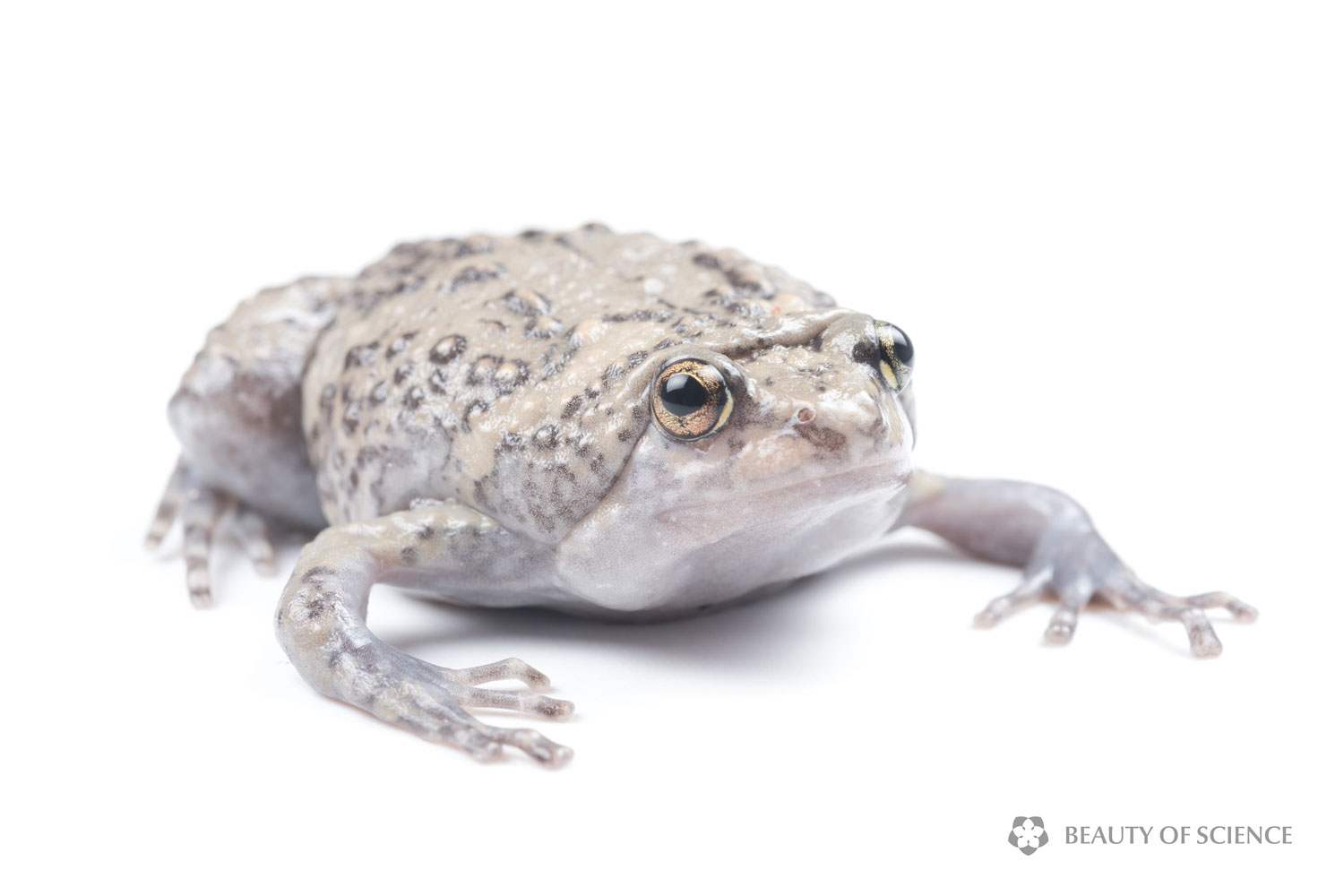 sichuan-narrow-mouthed-frog-white-07.jpg