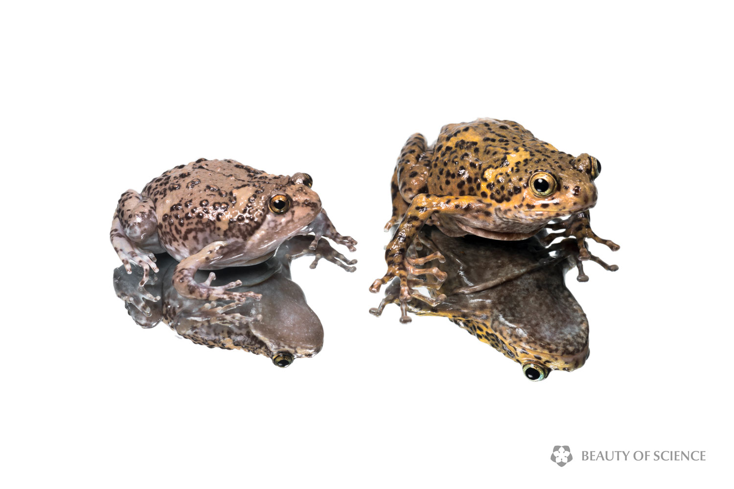 sichuan-narrow-mouthed-frog-white-08.jpg