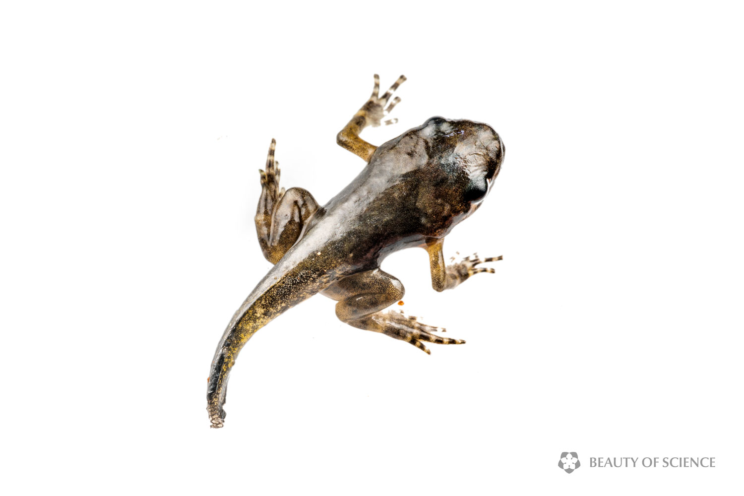 sichuan-narrow-mouthed-frog-life-cycle-07.jpg