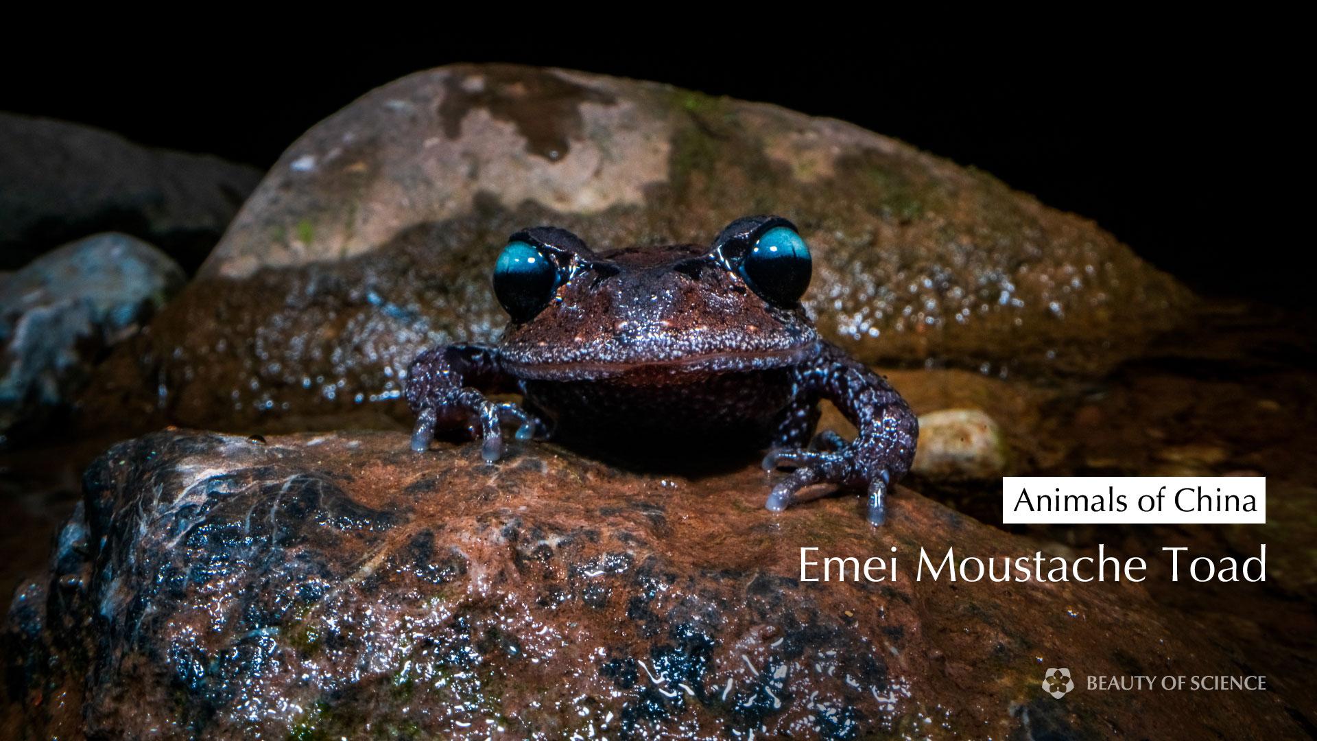 Emei-Moustache-Toad-Final.jpg