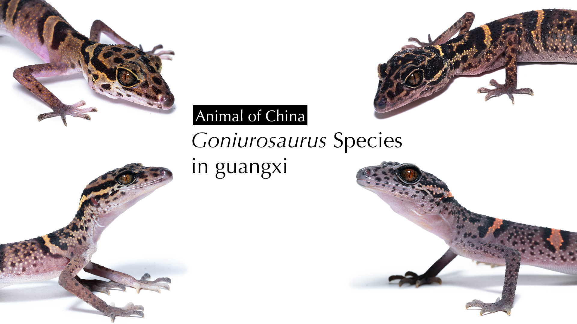 Goniurosaurus Species in guangxi.jpg