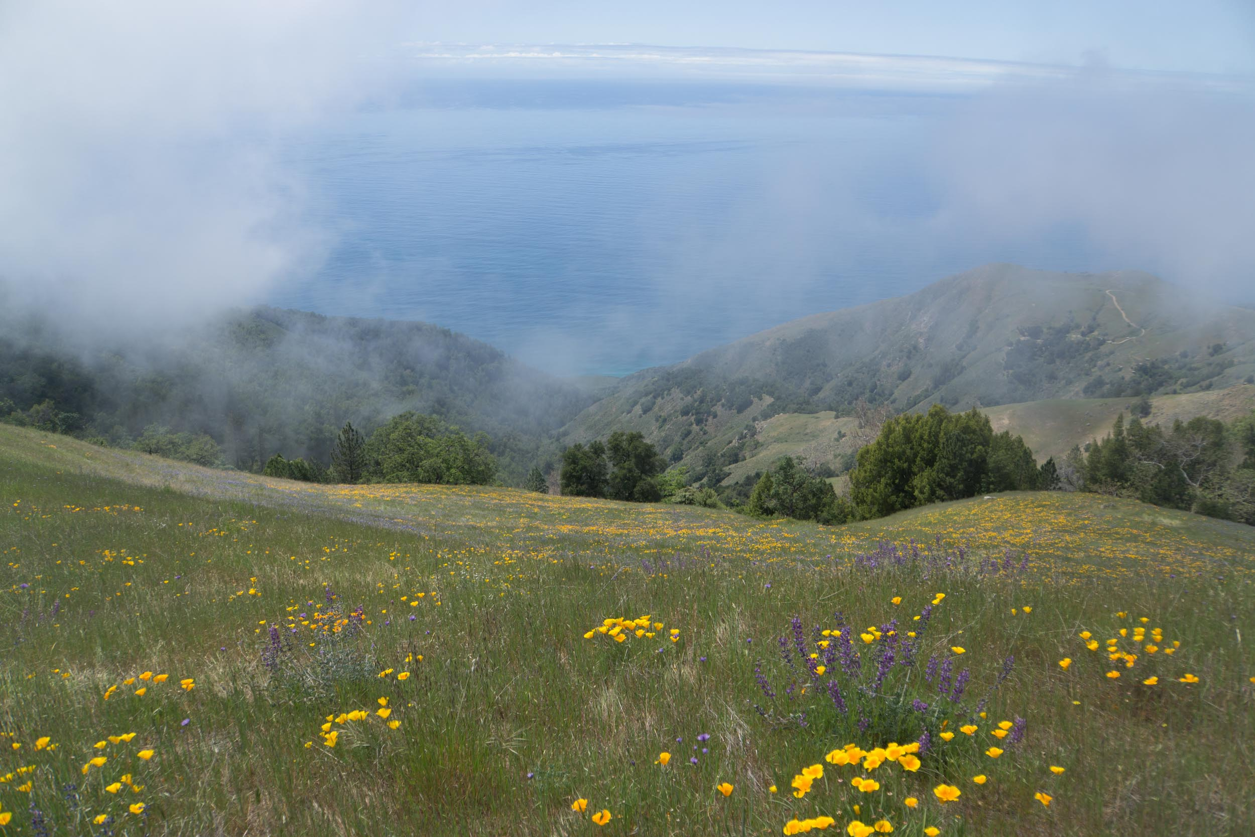 The wild flowers are out of control in Big Sur.