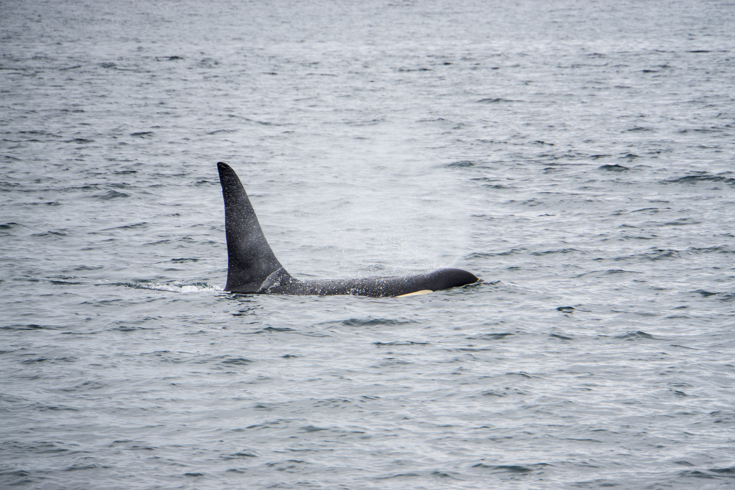 Seeing orcas was on our bucket list, so we went whale watching!