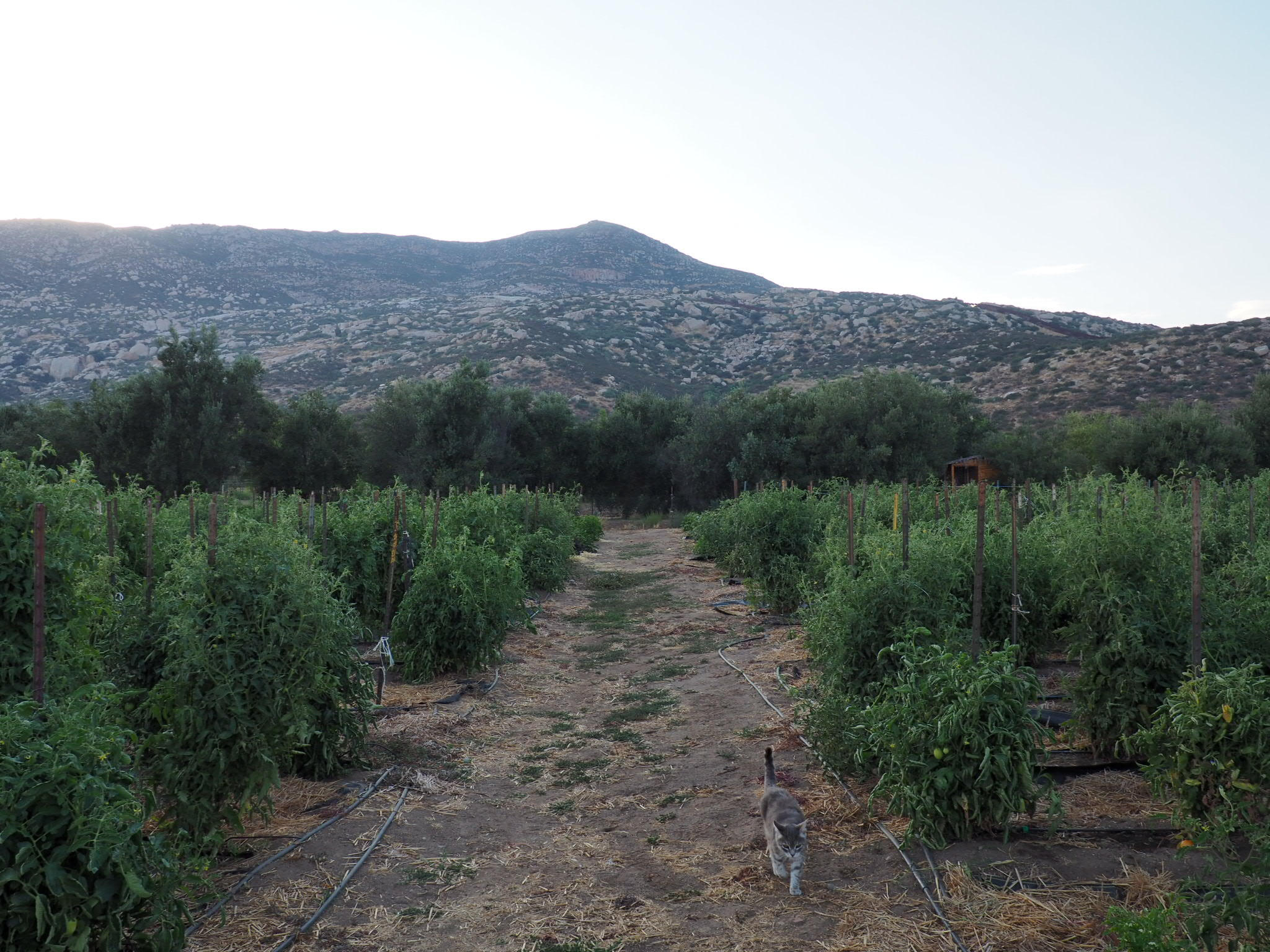 You can't see here because of the light, but on that ridge just south of the peak is the border fence. This viewpoint is from La Cocina Que Canta's garden. Photo by Jackie Bryant.