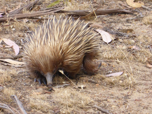 The echidna has a long pointy nose for finding buried insects and sharp rear digging claws