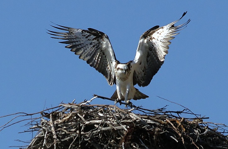 Eastern Osprey - spring.jpg