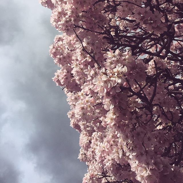 🌸🌸🌸 〰️ it's all about perspective  focus on the pink blossoms rather than those grey skies