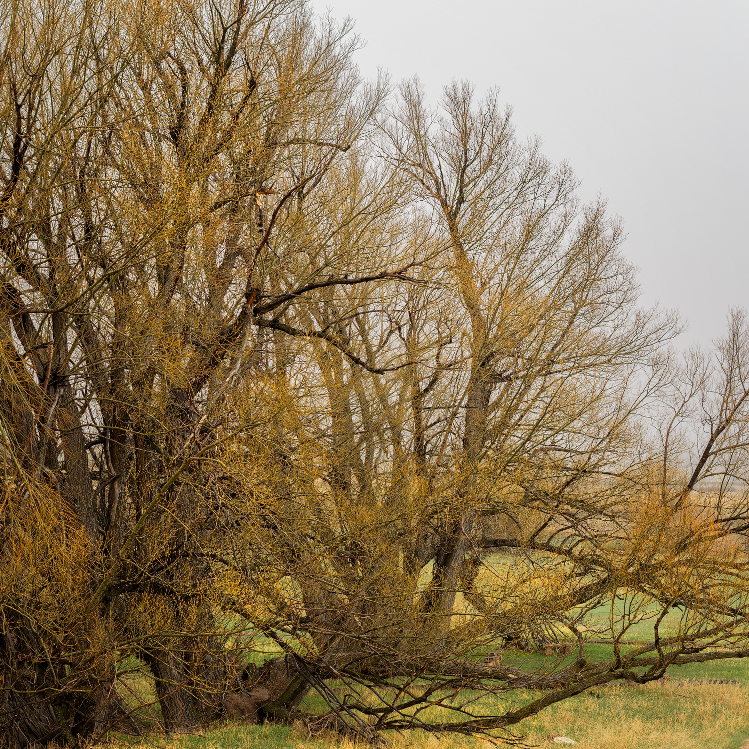 A big willow tree seen from Palmer Divide Ranch Trail
