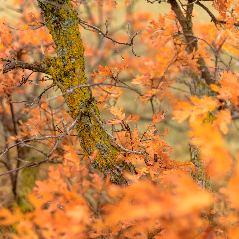 Bright orange gamble oak next to the Palmer Divide Ranch Trail