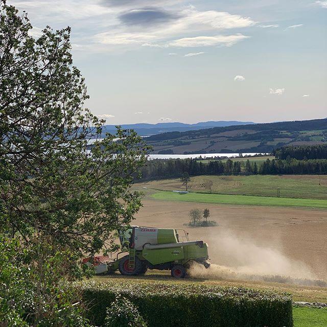 Endelig!!! Etter 14 dager med av og på regn, så kan vi  høste bygget for å få sådd spelt for neste år. #spelt #ousdalgård #bondenshverdag #livetpålandet #midtimjøsa #ringsakerkommune