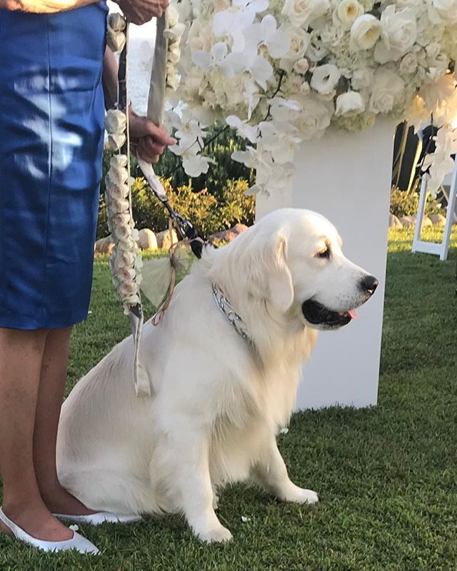 Our ring bearer one year old puppy!!! @nisiesenchanted @montagelaguna
