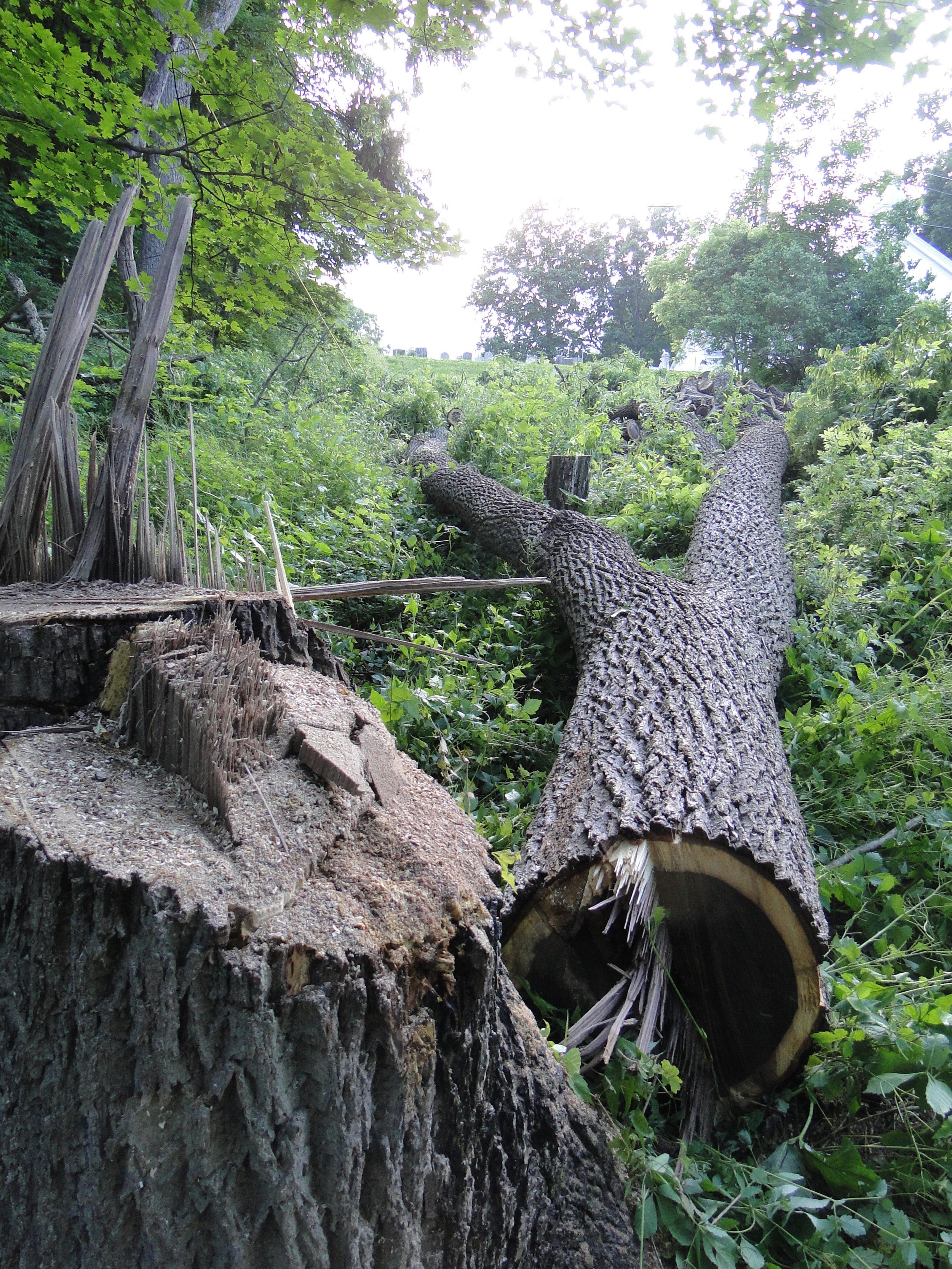 felled-walnut-2.JPG