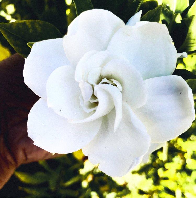 Magnolia Flower Essence Sages Larder