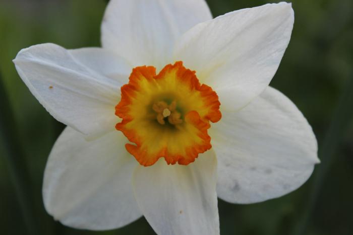 Recurvus Daffodil