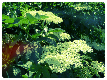 Elder blossoms in bloom; Jonathan Billinger [CC BY-SA 2.0 (http://creativecommons.org/licenses/by-sa/2.0)], via Wikimedia Commons