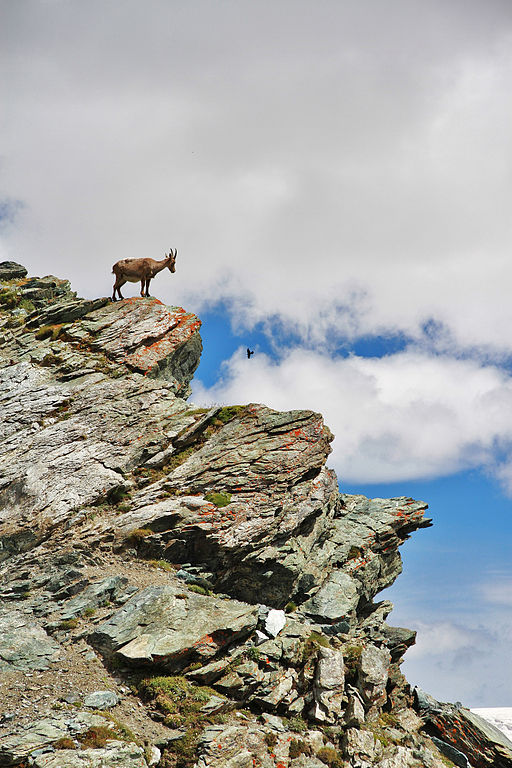 An Alpine Ibex standing on a rock in Gorndergrat; photo by Simo Räsänen via Wikimedia Commons.