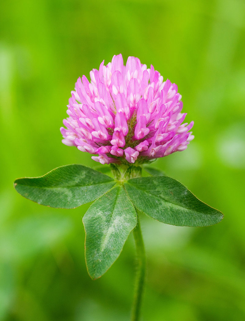 Red Clover in bloom (Trifolium pratense); photo by 池田正樹 masaki ikeda [CC BY-SA 3.0 (https://creativecommons.org/licenses/by-sa/3.0)]