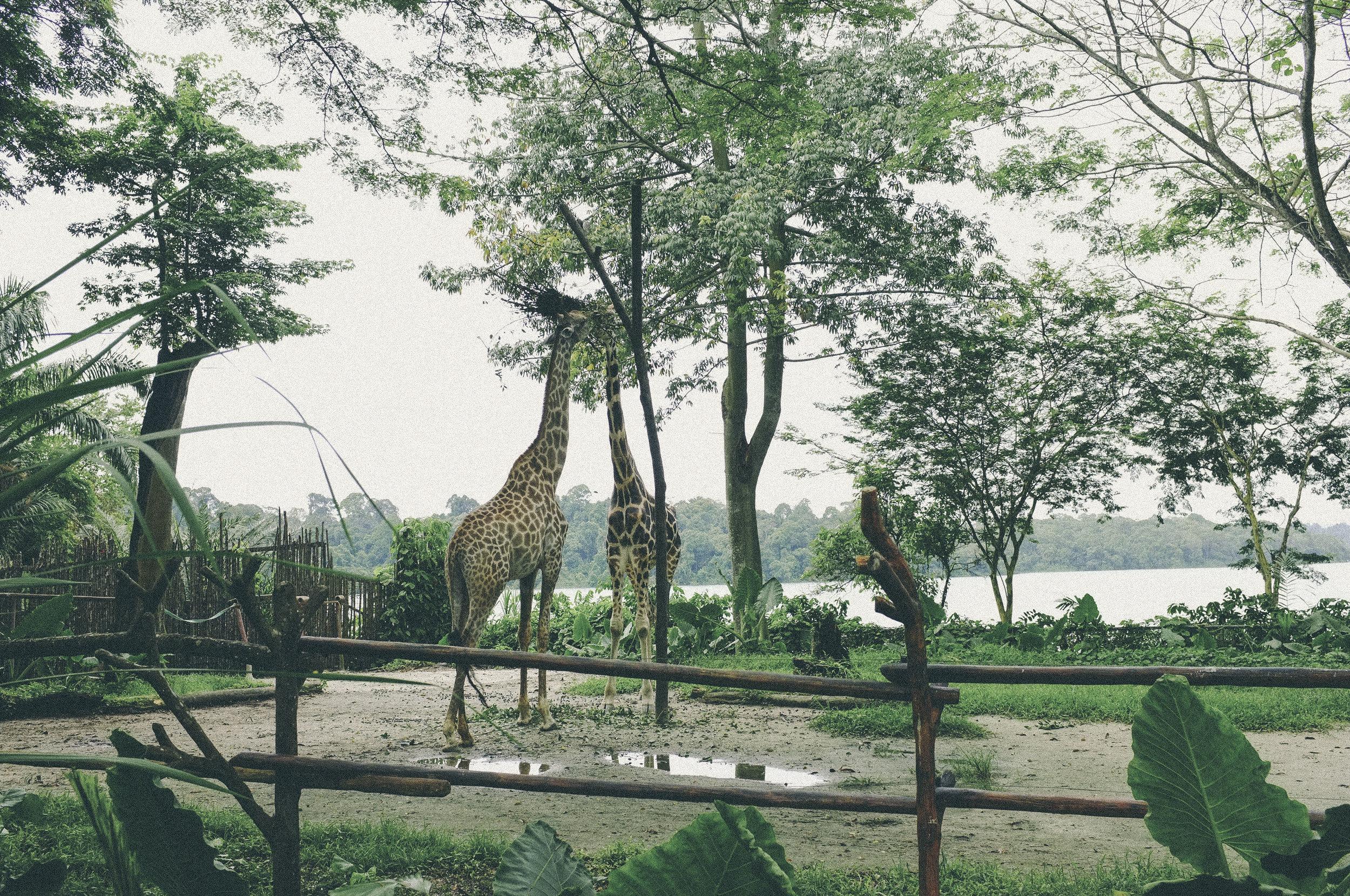 singapore zoo, singapore - www.derrive.com