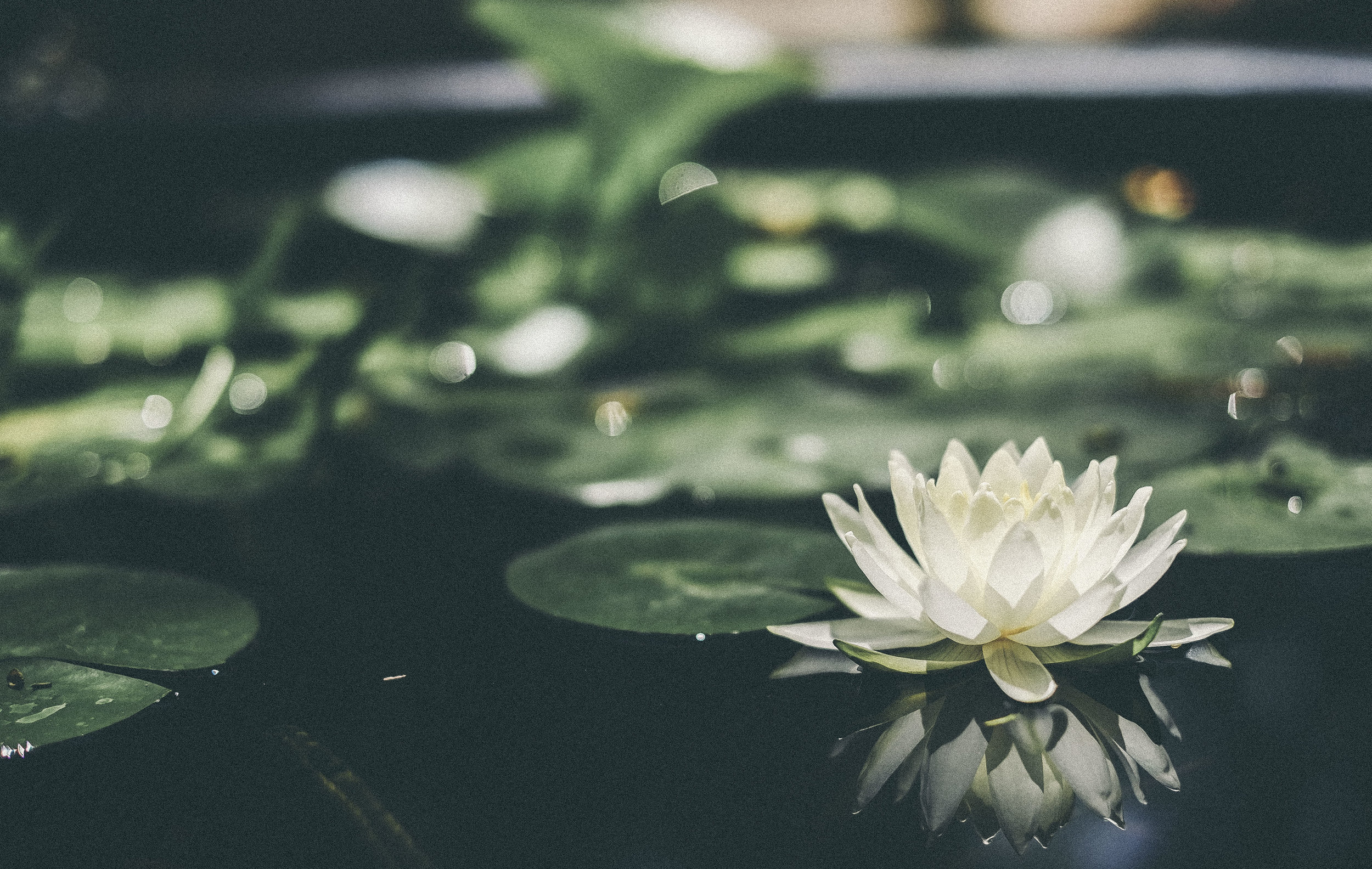 #waterlily #flower #photgraphy www.derrive.com