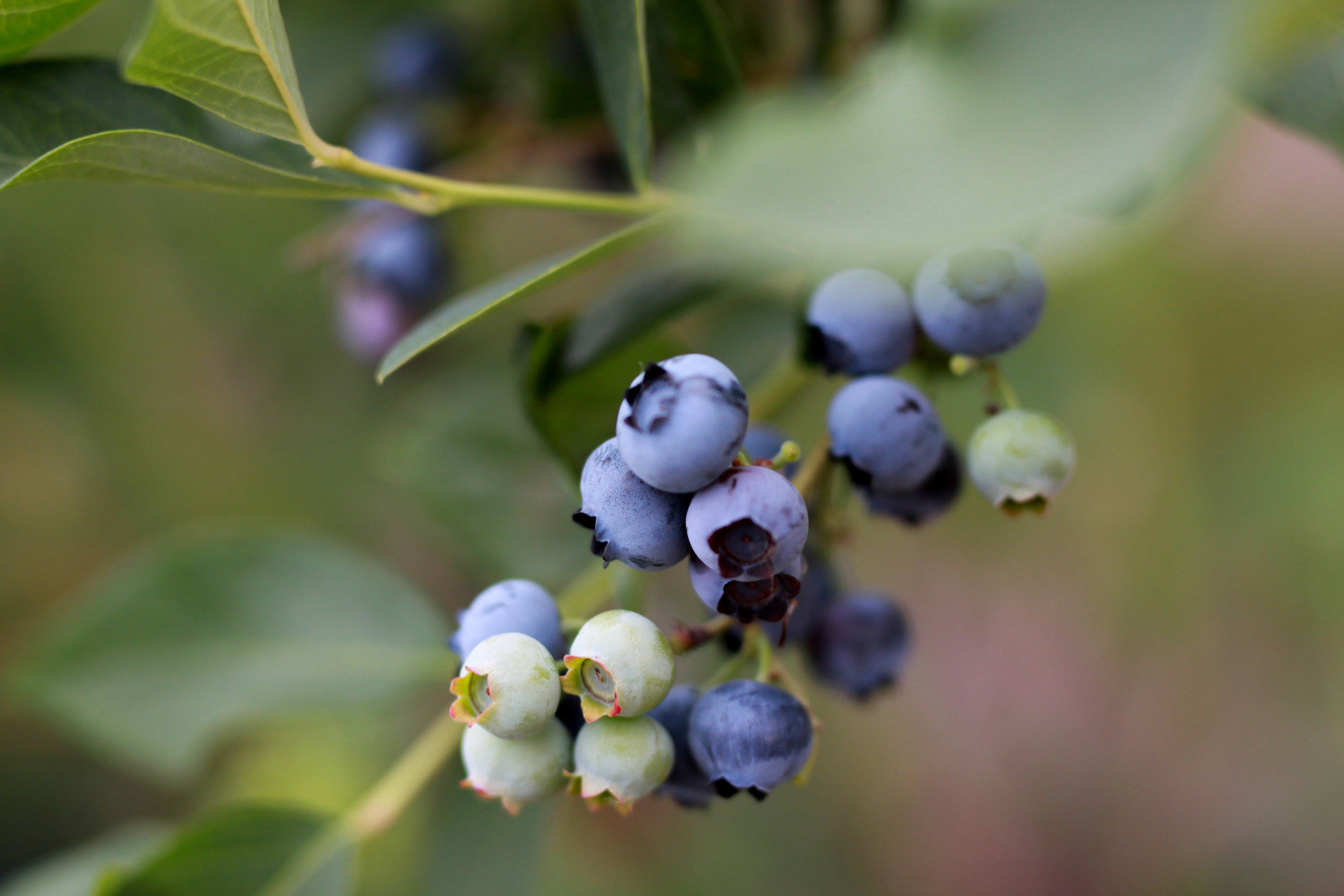 SequelPhotography-Blueberry(6of7).jpg