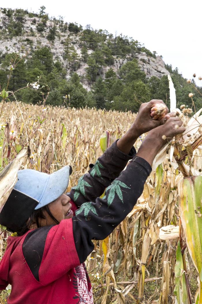 """""""Siempre en todos los rituales, en todo lo que se hace en comunidad para sanar a un enfermo, pues se usa el maíz, el tesgüino, la tortilla, los tamales, y eso, de alguna manera, es un tipo de trabajo psico-social que nos mantiene en comunidad, que nos mantiene unida y que nos ayuda a comprender parte de la realidad de nosotros mismos, que nos valora. Que a veces hay gente que nos llama pobres, pero tenemos lo nuestro, que es la parte muy importante y eso es el maíz."""" -Luis Pérez, Comunidad de Repechike, Chihuahua, México."""