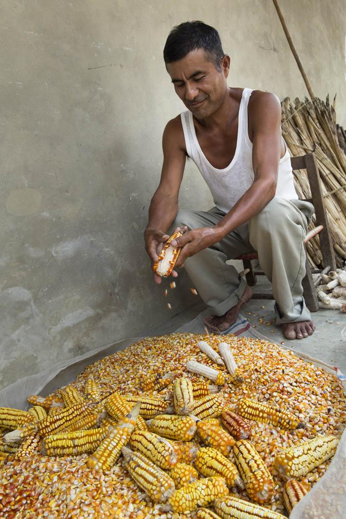 En el Mango, al igual que en las otras comunidades de la región, solamente se usa semilla criolla para los cultivos y para el alimento diario.