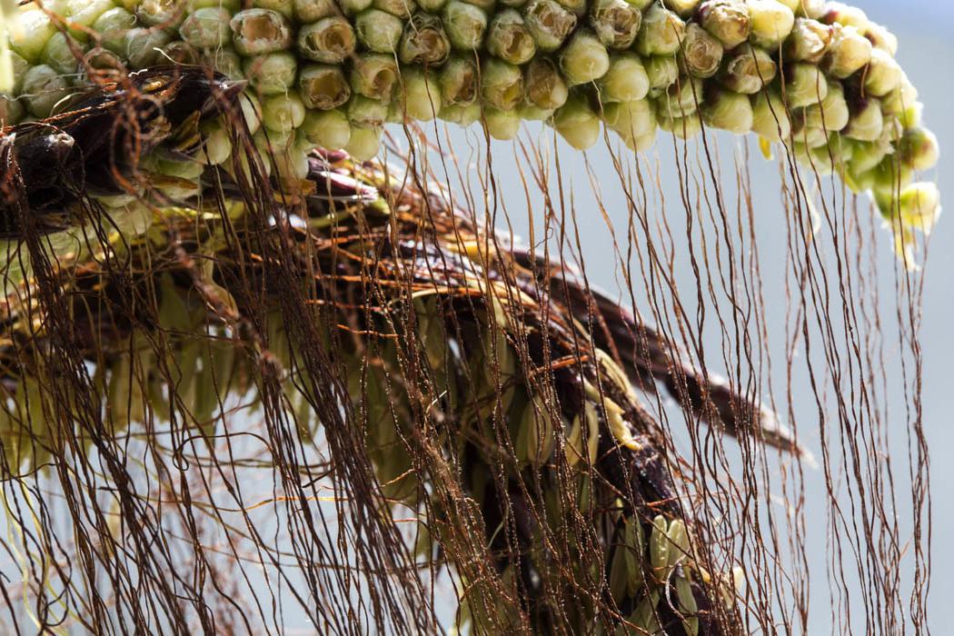 El maíz tunicado o el maíz ajo tiene un proceso muy diferente a los otros maíces y en Ixtenco se conserva con mucho cuidado.