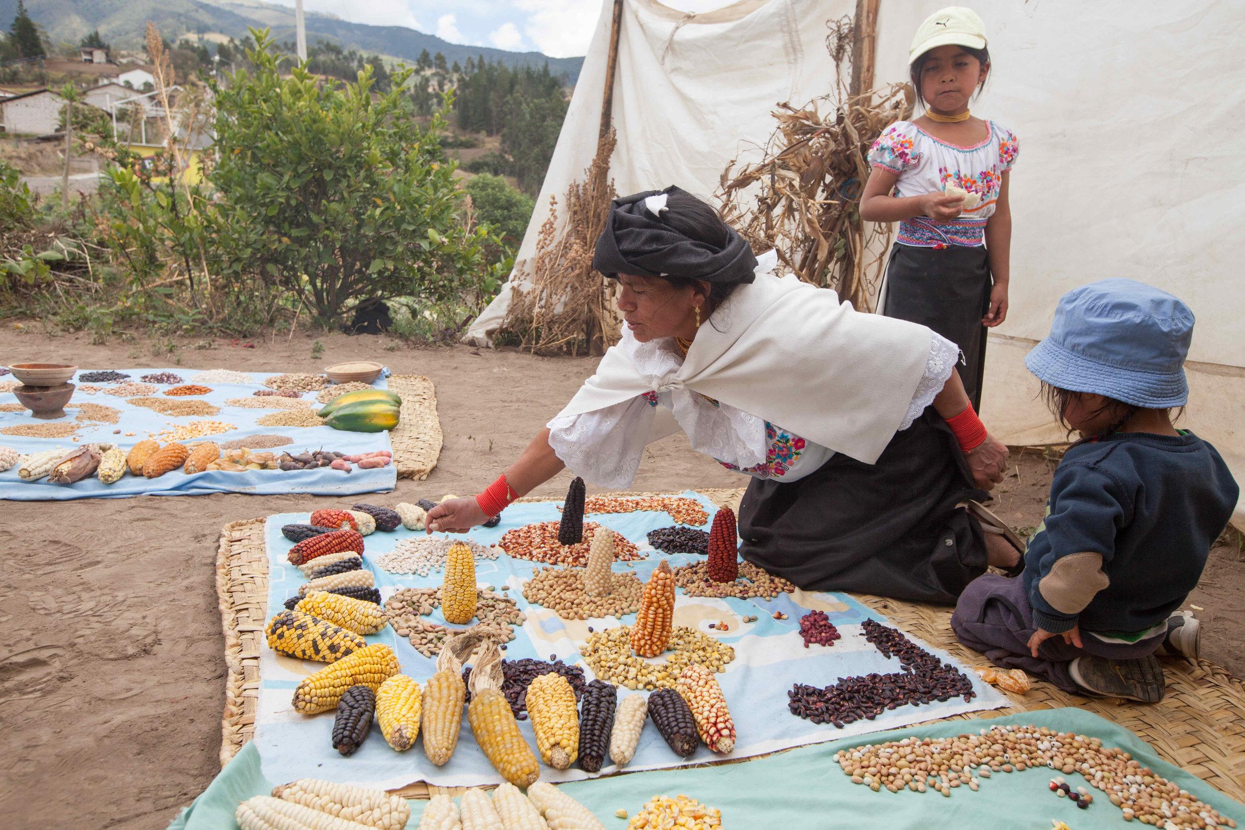 """Rosa Maria Angrango Conejo,San Francisco De la Rinconada,Sector 4 Esquinas, Otavalo, Ecuador  """"Para las siembras hacemos una ceremonia, igual como nosotros estamos aquí, hacemos una ceremonia de los granos, porque tiene vida los granos, igual la tierra tiene vida. Vivir en nuestra pachamama para que nos vuelva dar la producción.  Ahora, los jóvenes solo quieren ir a la cuidad y no están sembrando. La gente de hoy que no siembran tiene mucha problema de salud. Pero nuestras mamitas mayores no se enferma, todavía vive comiendo nuestras semillas.  Tenemos que seguir manteniendo las semillas y no debemos descuidar."""""""