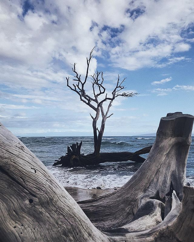 #ig #igers #beach #tree #driftwood #clouds #maui #hawaii #latergram