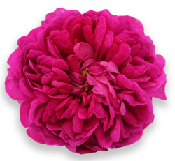 kaija-puro-rose-de-rescht.jpg