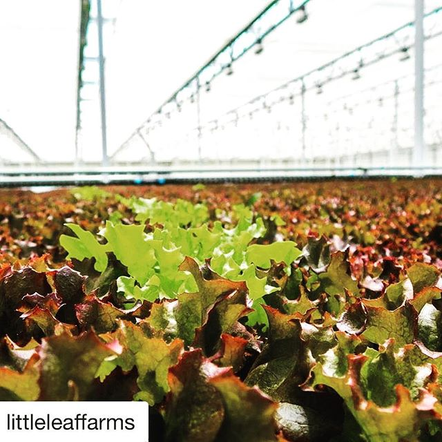 Even in New England we have the ability to grow fresh greens year round. #farmtech #Repost @littleleaffarms ・・・ A solo line of baby greens stands out in a crowd of red leaf lettuce.