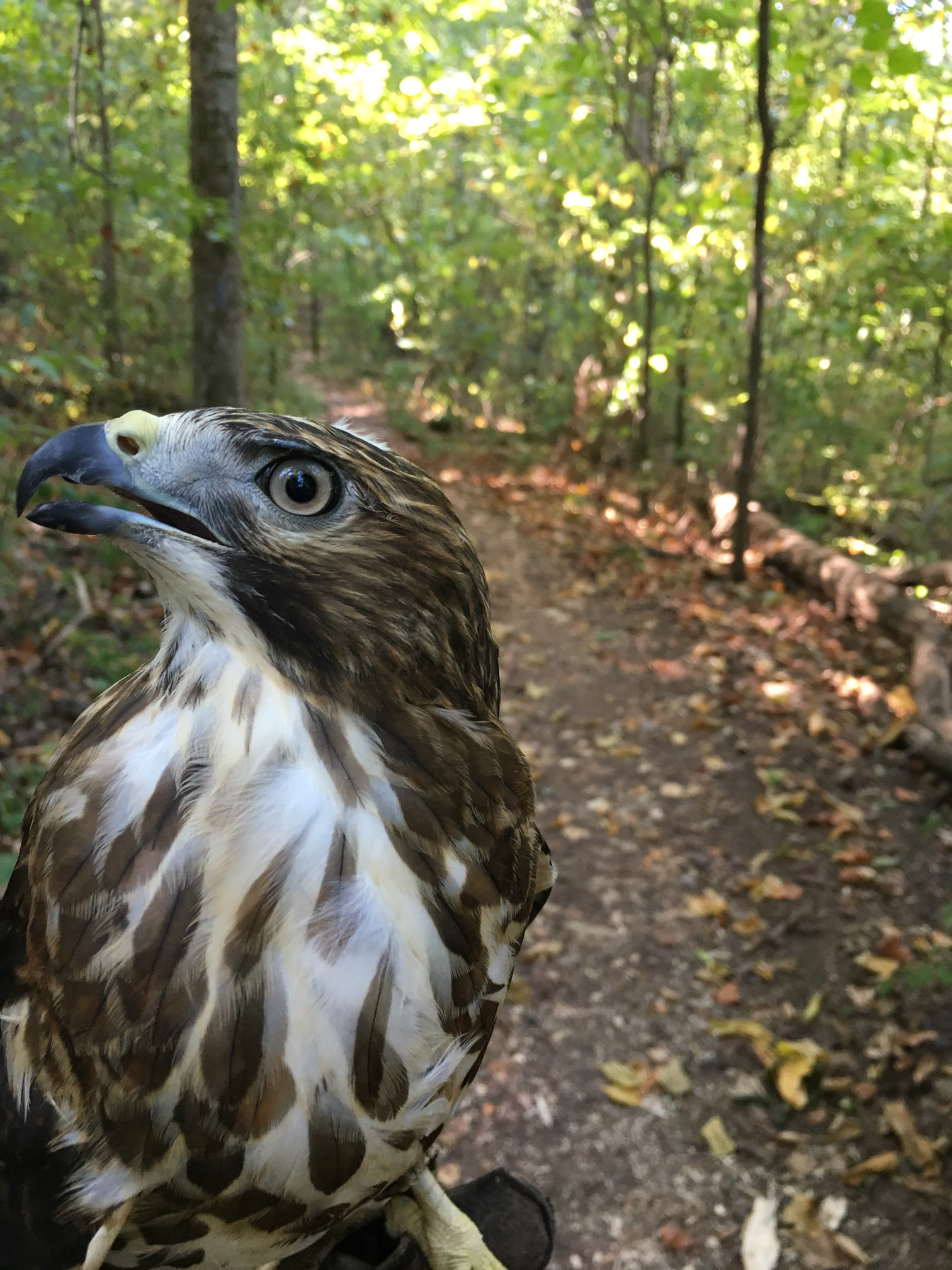 Here's our broad-winged hawk, Tawodi, on her morning walk. She complained the whole time.
