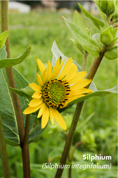 Silphium (Large).png