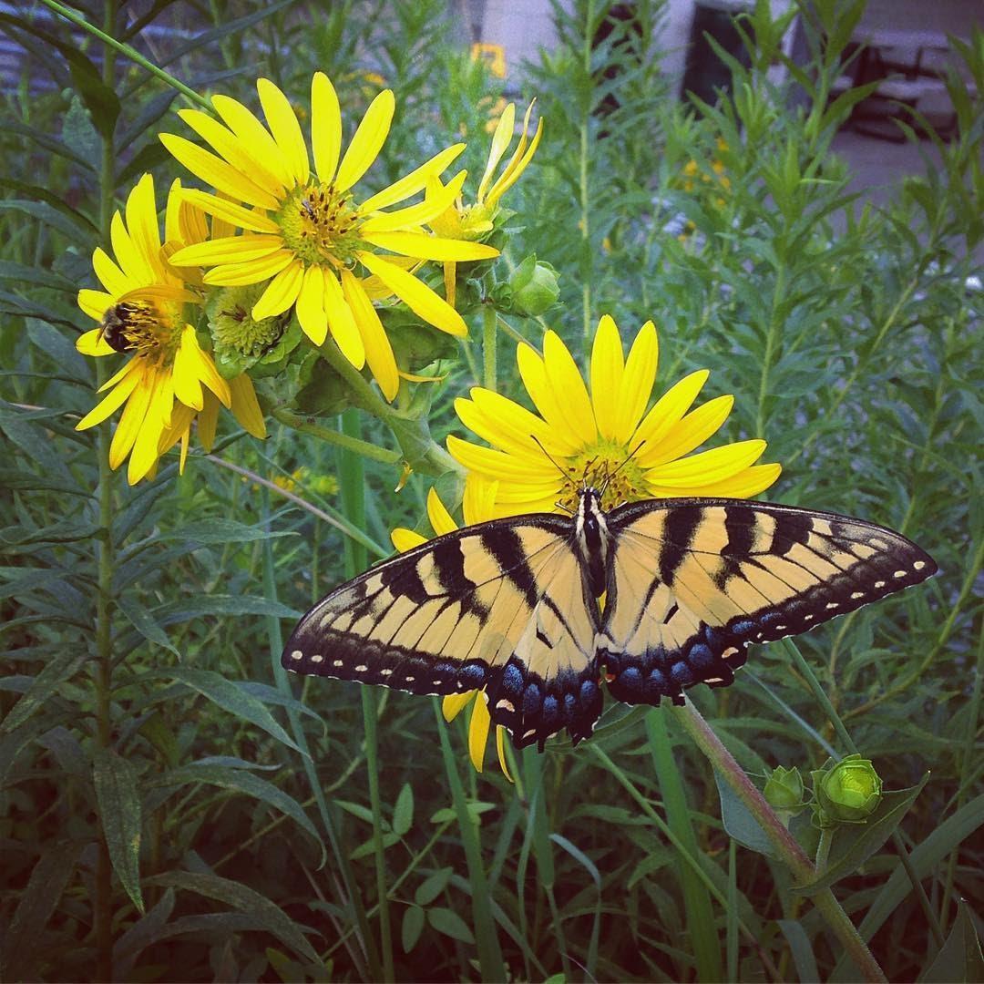 Butterfly in Habitat Garden.jpg