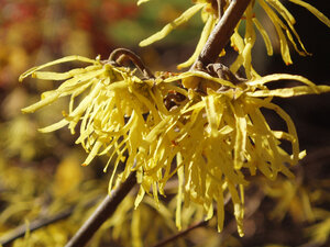 Hamamelis Virginiana Witch Hazel Ruffner Mountain