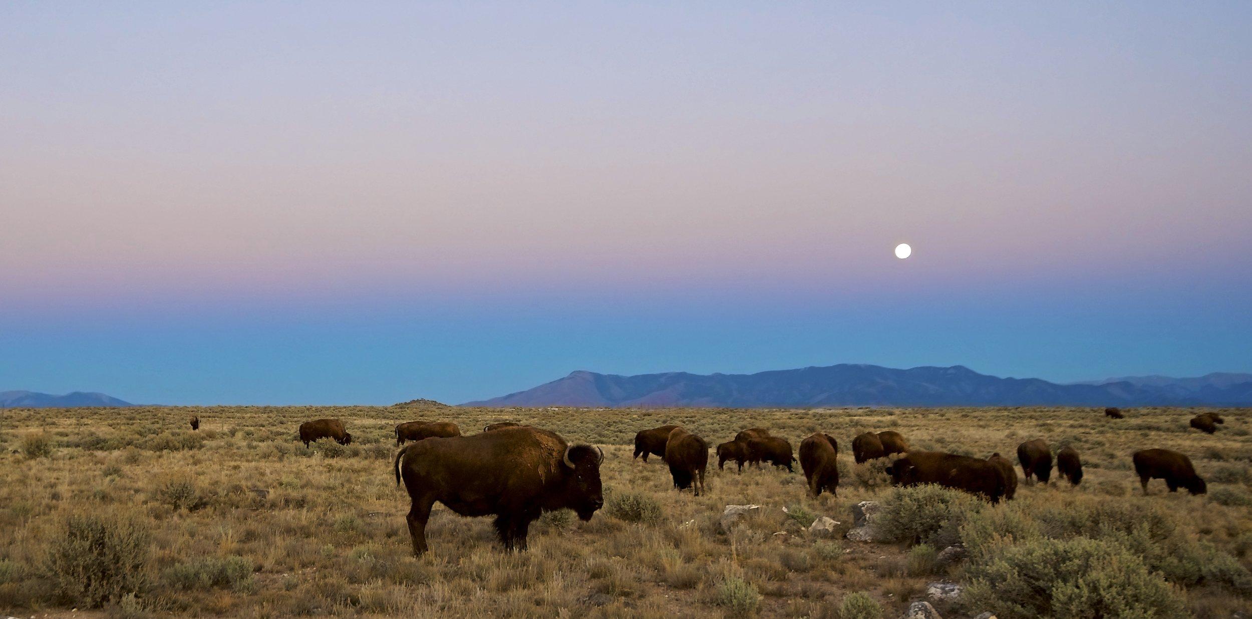 Twilight Buffalo