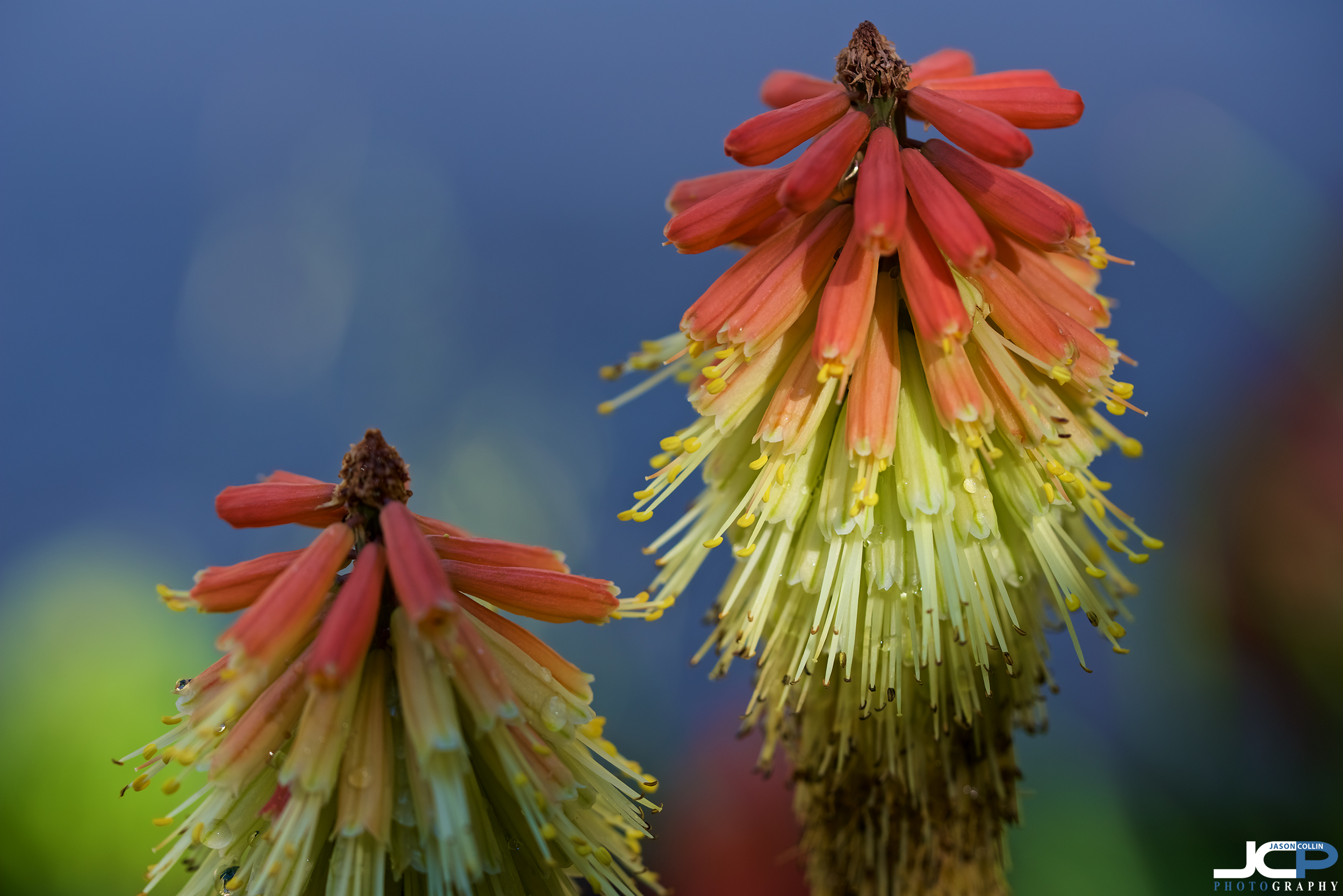 Flowers or rocket popsicles?? Visit Cloudcroft, New Mexico to see them!