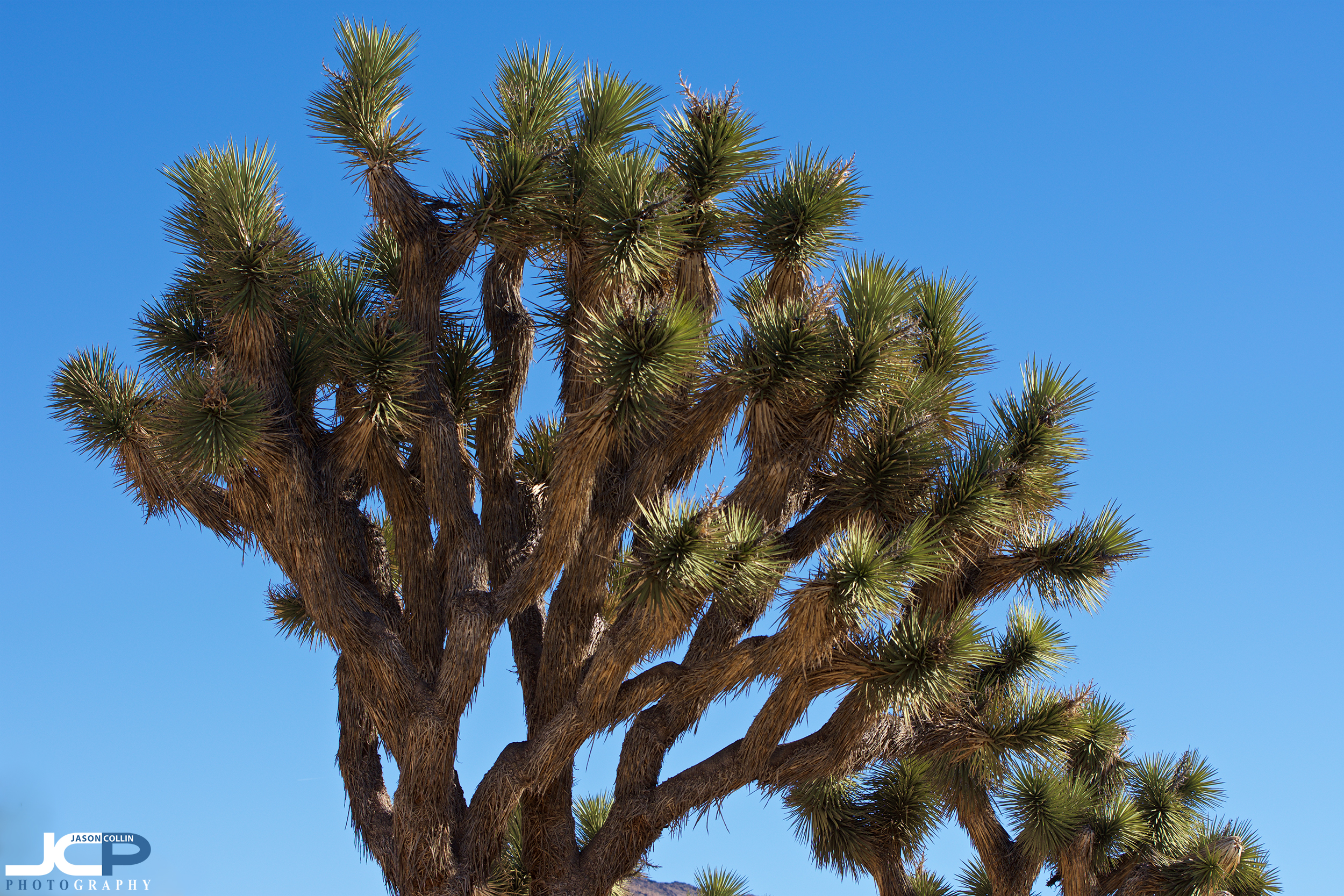 In case you were wondering, yes, joshua tree needles are sharp!